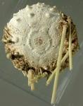 Caenopedina cubensis (aboral)