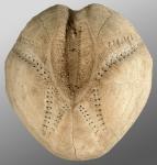 Echinocardium cordatum (aboral)