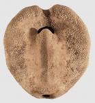 Spatangus raschi (oral)