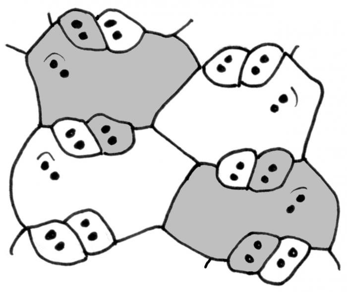 Echinothurioida (ambulacral plates)