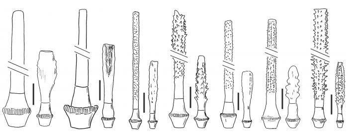 Ctenocidaris (primary spines)