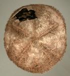 Genicopatagus (aboral)