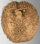 Abatus cavernosus (oral)