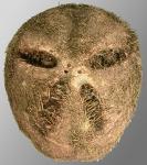 Abatus elongatus (aboral)