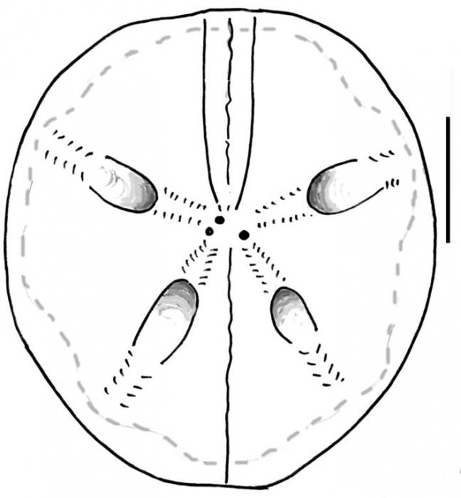 Abatus nimrodi (female, aboral)