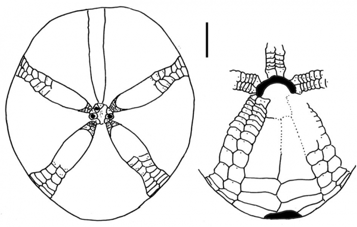 Amphipneustes brevisternalis (aboral + oral plating)