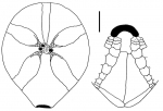 Amphipneustes davidi (aboral + oral plating)