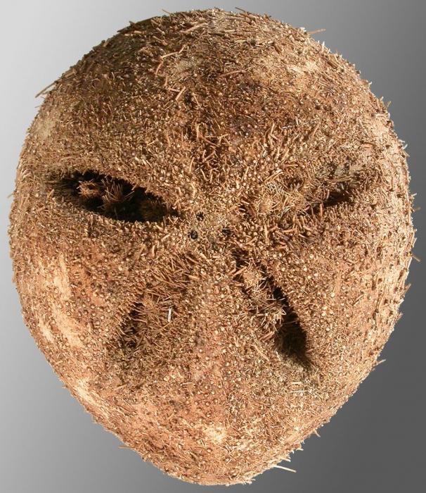 Amphipneustes lorioli (aboral)