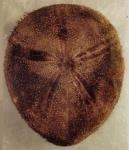 Amphipneustes lorioli (male?, aboral)