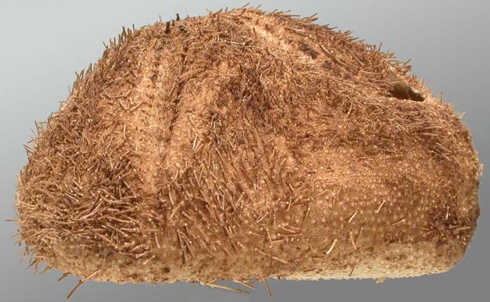 Amphipneustes rostratus (lateral)