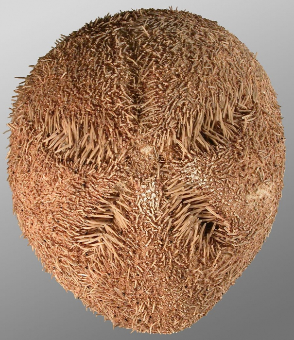 Amphipneustes similis (aboral)