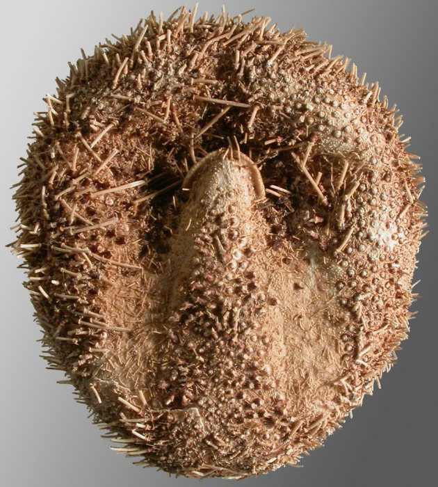 Amphipneustes similis (oral)