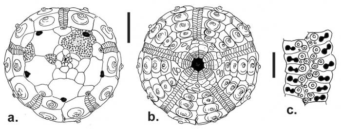 Aporocidaris usarpi (aboral + oral + ambulacral plates)
