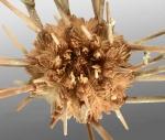 Austrocidaris canaliculata (aboral)