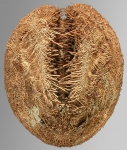 Brisaster antarcticus (aboral)