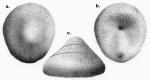 Cystechinus wyvillii (Challenger Expedition)