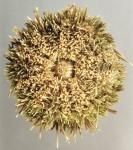 Loxechinus albus (oral)