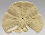 Echinodiscus bisperforatus (repaired test)