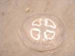 SWG species