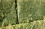 Phormidium autumnale