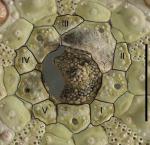 Centrostephanus rodgersii (apical system)