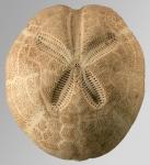 Brissopsis alta (aboral)