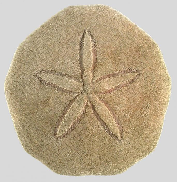 Irregularia (petals)
