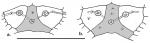 Habrocidaris (primordial plates)