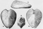 Homolampas fulva (Challenger Expedition)