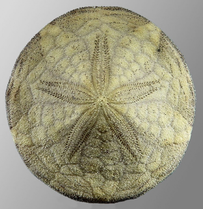 Laganum retinens (aboral)