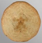 Peronella pellucida (oral)