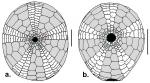 Pilematechinus (oral)