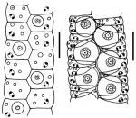 Ambulacral structures of aspidodiadematids