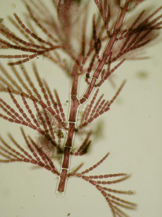 Antithamnion densum