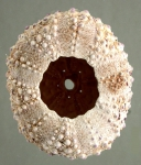 Podophora atratus (test, oral)
