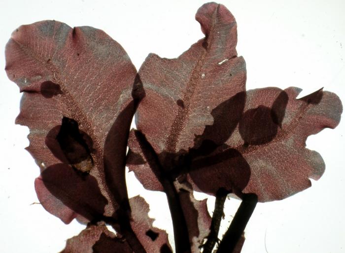 Apoglossum ruscifolium