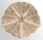 Scaphechinus mirabilis (oral)
