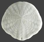 Scaphechinus mirabilis (aboral)