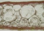 Callophyllis laciniata