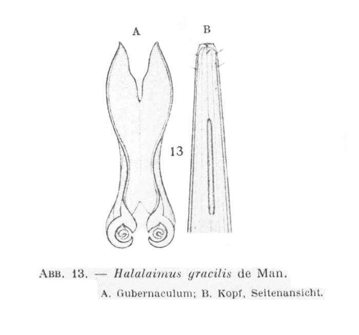 Halalaimus gracilis de Man, 1888