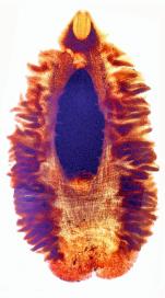 Gyrocotyle discoveryi Bray, Waeschenbach, Littlewood, Halvorsen & Olson, 2020