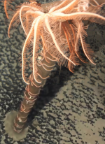 Astrolirus patricki holotype RSIOAS044 in situ