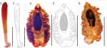 Gyrocotyle haffii Bray, Waeschenbach, Littlewood, Halvorsen & Olson, 2020