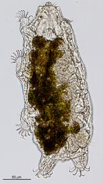 Neoechiniscoides aski Møbjerg, Jørgensen & Kristensen, 2020