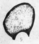 Eotuberitina ferganensis Poyarkov, 1969