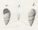Turbo pusillus Brocchi, 1814 type figures