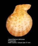 Laevichlamys deliciosa