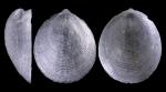 Veleropilina reticulata (Seguenza, 1876)
