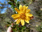 Calea myrtifolia