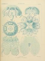 Linerges mercurius plate from Haeckel (1880)